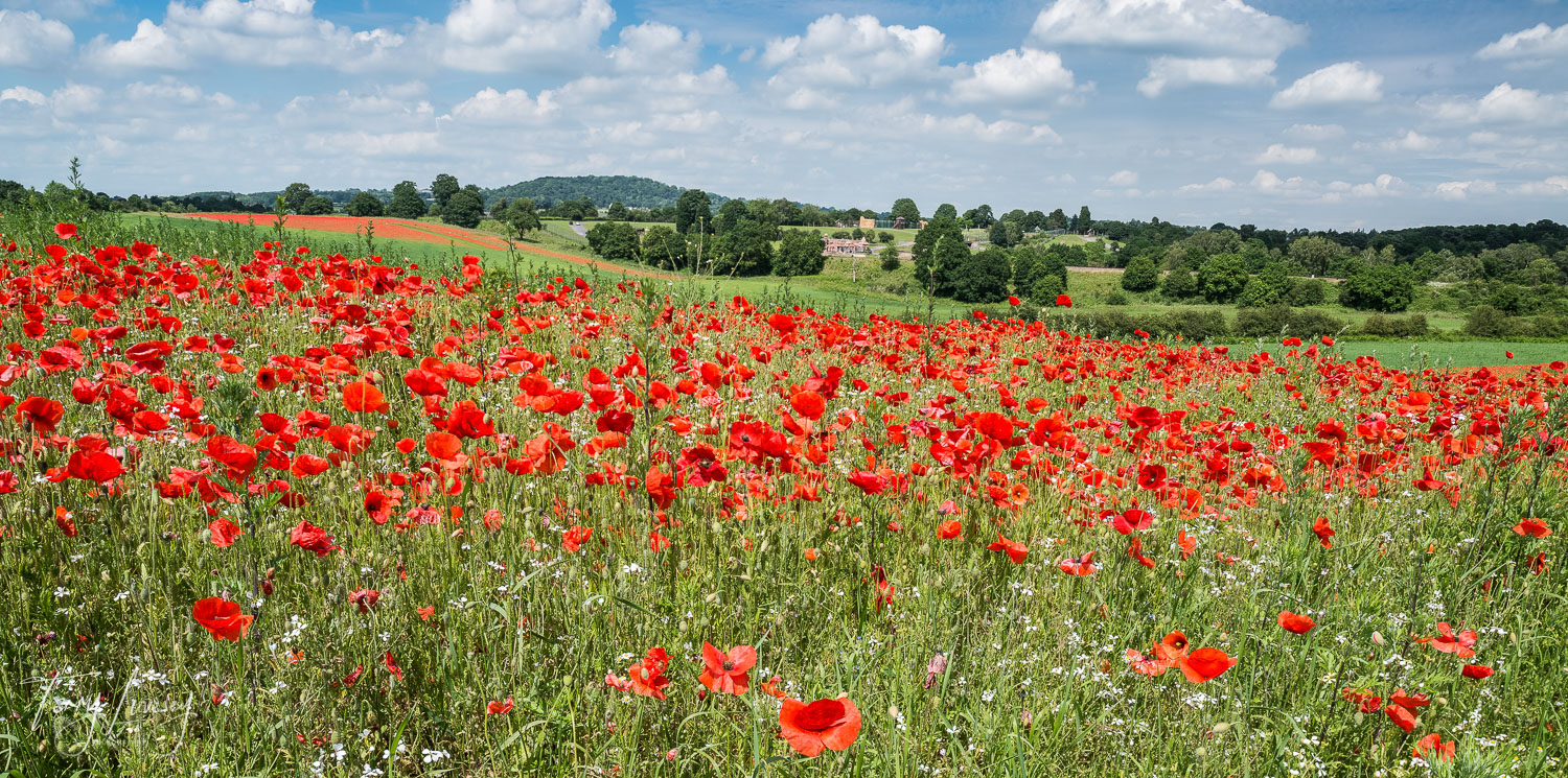 Poppies galore, with a view of the West Midlands Safari Park in the distance.